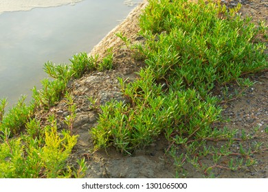 Sea purslane (Sesuvium portulacastraum) is a common occurrence in coastal dunes and the upper edges of salt marshes.
