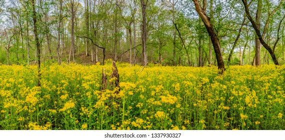 Sea of Ragwort Flowers span across simple forest