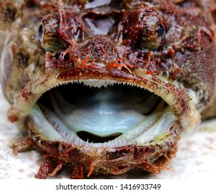 Sea raven (Hemitripterus villosus) head with widely open jaws closeup. Monster creature of the sea.