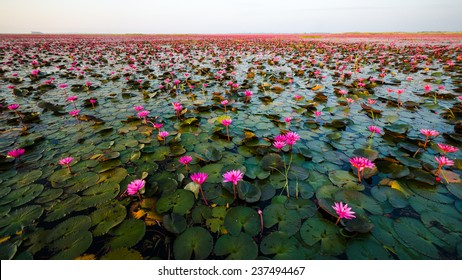 Sea of red lotus , Marsh Red lotus , Small boat in the lotus , caravel , Small boat in the Sea of red lotus , Sea of red lotus Thailand , cruise ship
