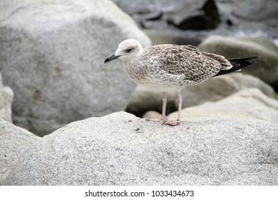 Sea sand. Big seagull on the beach.