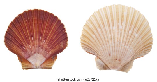 Sea Shell Collection Isolated on White with a Clipping Path.