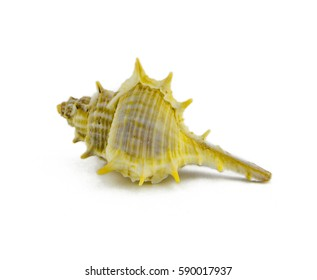 Sea shell isoleted on white background