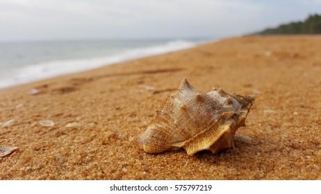 Sea shell on beach.