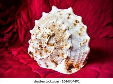 Sea shell on crimson background. Seashell macro view. Big seashell macro view. Seashell on dark red