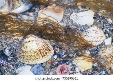 Sea shells and algae under water on sandy beach. Sea shells background