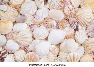 Sea shells as background or pattern