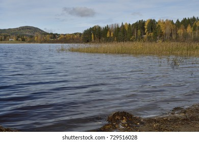 Sea shore with small waves and sea read, forest with birch with yellow leaf in background.