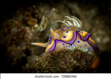 Sea slug Yellow Chromodoris. Nudibranch, the sea slug, on the top of the coral. Macro shot, Underwater life if Indonesia. Close up, portraits of the small aquatic life. Banda sea.
