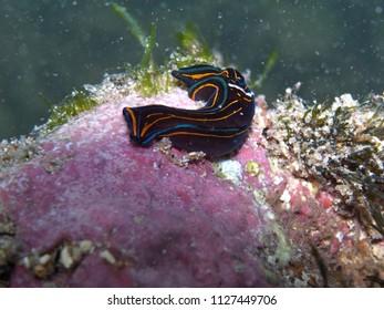 Sea slug-Chelidonura hirundinina  Bulla hirundinina  Chelidonura philinopsis in Clovelly, Sydney, Australia