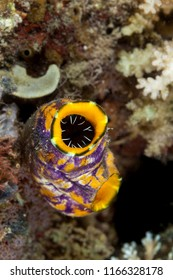 Sea squirt, tunicate, or ascidian living on the reef