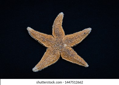 Sea star starfish species from the northern sea in europe five arms front