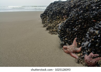Sea stars clinging to barnacle covered rocks on the coast of Olympic National Park, Washington
