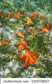Sea stars underwater with turtlegrass and a queen conch shell on the seabed in the Caribbean sea