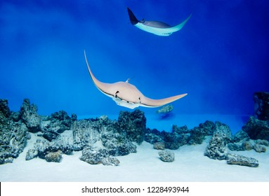 Sea Stingray. Stingrays, which are also called sea cats, are found in temperate and tropical waters. A characteristic feature of these fish is their body shape, which resembles almost correct rhombus