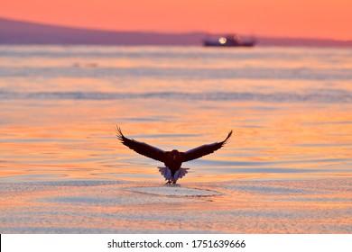 Sea sunset. Beautiful Steller's sea eagle, Haliaeetus pelagicus, with morning sunrise, Hokkaido, Japan. Wildlife behaviour scene, nature. Bird of prey hunting fish. Eagle, boat in the background.