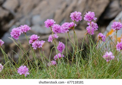 Sea thrift (Armeria Maritima) in bloom on the coastal cliffs of Cornwall.  The magenta and pink flowers have stamens loaded with pollen. Against a rock wall.Selective focus