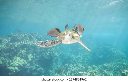 Sea Turtle Being Cleaned by Fish Over a Beautiful Coral Reef