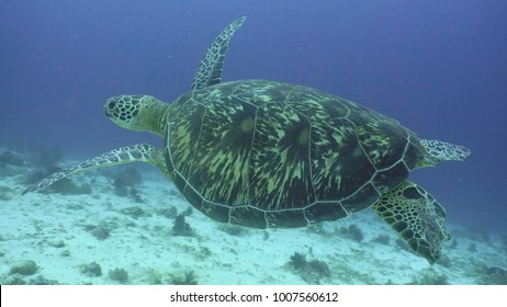 Sea turtle between corals underwater. Wonderful and beautiful underwater world. Diving and snorkeling in the tropical sea. Philippines.
