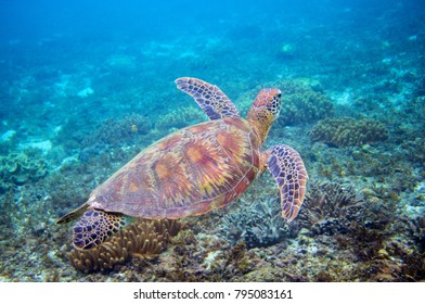 Sea turtle in blue water above coral reef. Tropical sea nature of exotic island. Olive ridley turtle in blue sea water. Green tortoise in tropical lagoon. Underwater photo of cute marine animal
