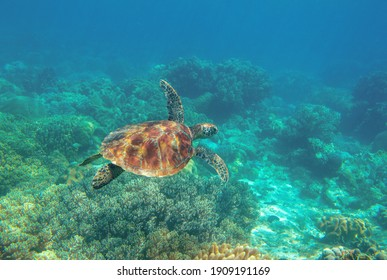Sea turtle in blue water. Cute sea turtle in blue water of tropical sea. Green turtle underwater photo. Wild marine animal in natural environment. Endangered species of coral reef.