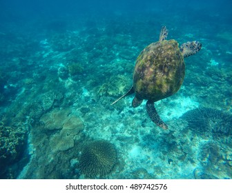 Sea turtle in blue water. Green sea turtle diving photo. Nautical sea fauna closeup. Green turtle swimming in sea. Snorkeling with turtle in lagoon. Philippines snorkeling spot. Sport during vacation