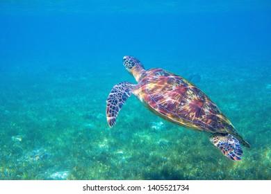 Sea turtle by water surface. Olive green turtle underwater photo. Beautiful marine animal in natural environment. Endangered species of coral reef. Tropical seashore wildlife. Snorkeling hobby