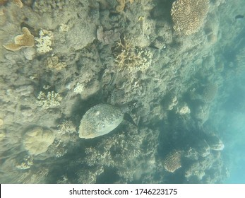 sea turtle camouflaged in coral in the great barrier in Australia, taken with an underwater camera while snorkelling