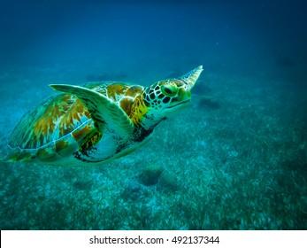 Sea turtle in caribbean sea - Caye Caulker, Belize