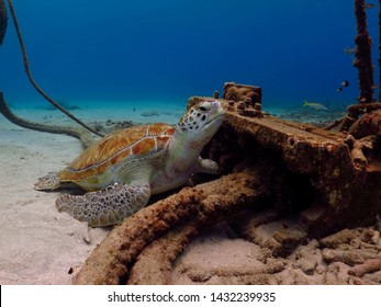 Sea turtle (Chelonia mydas) on the ocean bottom, hiding close to the anchoring point. Underwater photography from scuba diving with turtles. Marine animal in the water.