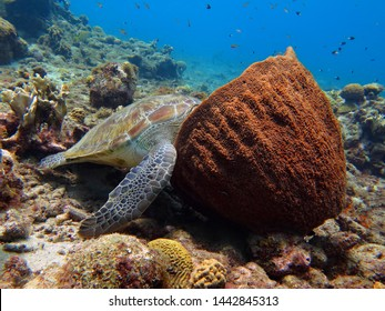 Sea turtle (Chelonia mydas) sleeping in the sea sponge. Marine animal on the reef, underwater photography from scuba diving. Healthy coral reef and aquatic life. Diving with turtles in the ocean.