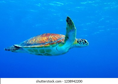 Sea turtle (chelonia mydas) swimming in the blue ocean. Snorkeling with sea turtle in the shallow sea. Underwater photography with tortoise in the blue sea. Shallow seascape with underwater turtle.