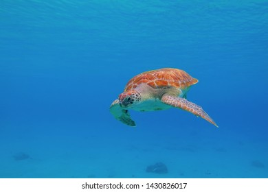 Sea turtle (Chelonia mydas) swimming in the blue tropical ocean. Cute marine animal, underwater photography from scuba diving with green sea turtles. Warm ocean and aquatic life.