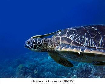 Sea Turtle with Cleaner Fish at Apo Island, Visayas, Philippines