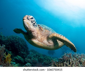 Sea turtle close up over coral reef in blue sea.