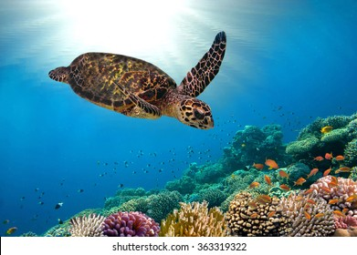 sea turtle close up over coral reef in hawaii.