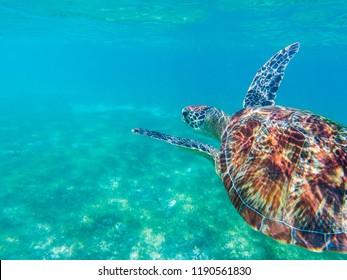 Sea turtle closeup in blue sea. Sea turtle in tropical seashore, underwater photo of marine wildlife. Marine turtle undersea closeup. Wild animal of tropic sea. Oceanic animal. Endangered species