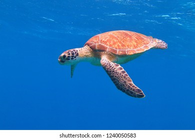 Sea turtle with colorful shell swimming in the blue ocean. Snorkeling with sea turtles (chelonia mydas). Underwater tortoise in the shallow water. Scuba diving with aquatic life.
