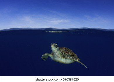Sea Turtle comes to surface to breathe