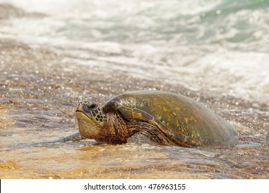 Sea Turtle Coming Out of the Sea