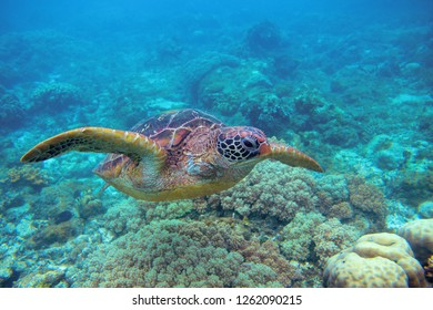 Sea turtle in coral reef. Exotic marine turtle underwater photo. Oceanic animal in wild nature. Summer vacation activity. Snorkeling or diving banner template. Tropical seashore with sea tortoise