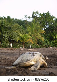 Sea turtle crawling from the beach to the sea in Tortuguero National Park, Costa Rica