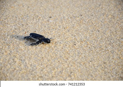 a sea turtle crawling on the beach heading to the open sea
