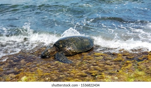 A sea turtle crawling out of the ocean.