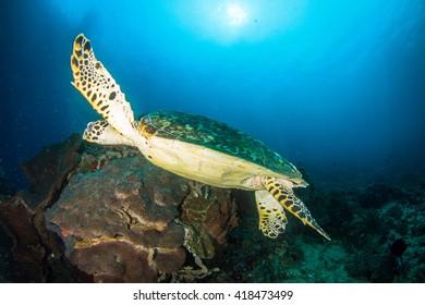Sea turtle cruising around the beautiful healthy reef of Nusa Penida, Indonesia