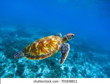 Sea turtle in deep blue seawater. Green sea turtle closeup. Tropical coral reef fauna. Tortoise underwater photo. Seashore ecosystem. Summer travel seaside activity. Snorkeling with sea turtle
