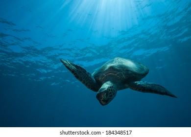 Sea Turtle diving down bathed in sun rays