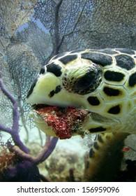Sea Turtle Eating
