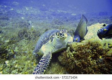 Sea Turtle eating and resting in a coral reef at the bottom of the ocean. Underwater photography and scuba diving scene.