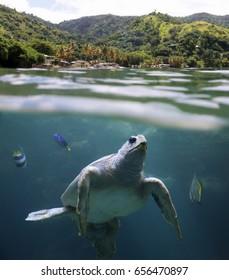 Sea turtle in front of Castara Beach (Tobago, West Indies)